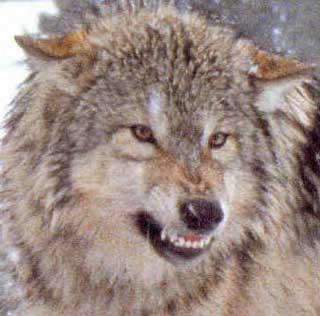 silver wolf-werewolf